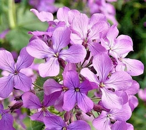 - 500+EVENING SCENTED STOCK Seeds