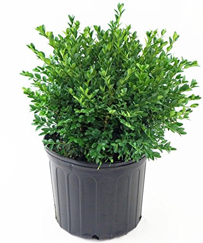 Buxus Micro. jap. 'Green Velvet' (Boxwood) Evergreen, 2 - Size Container