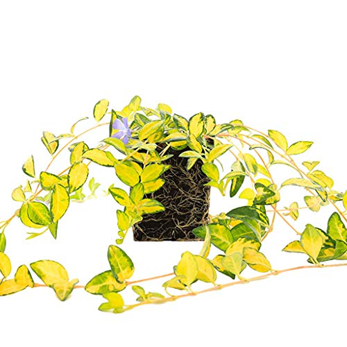 - Plants by Post Quart Vinca Minor Illumination, Purple
