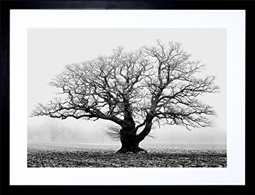 OLD OAK TREE BLACK WHITE MIST FOG PHOTO FRAMED ART PRINT PICTURE & MOUNT (Black And White Photo Framed)