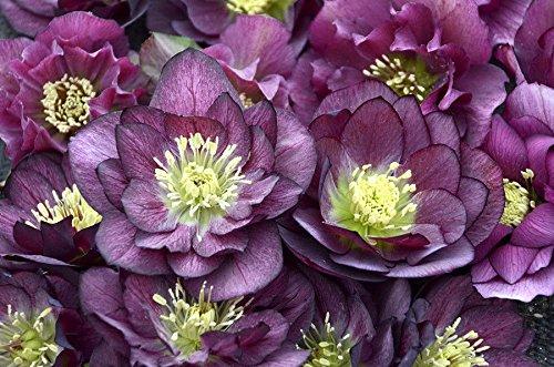 Helleborus BEST MAN~3 year plant~Double Flower Lenten Rose (Hellebore Plant)