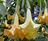 Brugmansia arborea Orange | 20_Seeds