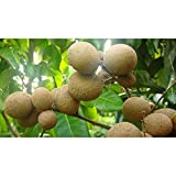 Longan Fruit Tree Tropical Fruit Tree 3 Feet Height in 3 Gallon Pot #BS1
