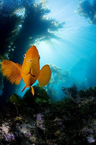 USA California Garibaldi Fish (Hypsypops Rubicundus) In Kelp Forest (Macrocystis Pyrifera) Catalina Island Poster Print (22 x 34) (Garibaldi Fish)