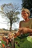 Rarest seeds » Schinziophyton rautanenii - Mongongo nut - useful -1 fresh seed