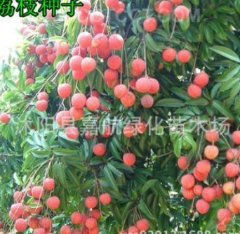 Kofun Flower Vegetable Fruit Seeds Petal Plants Home Garden Yard Decor Kiwi Seed - Hayward (100 Pieces)