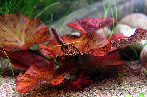 1 x live aquarium bulb - NYMPHAEA ZENKERI RUBRA Red Tiger Lotus - plant tropical fish tank hide for betta BiotopeAquatics