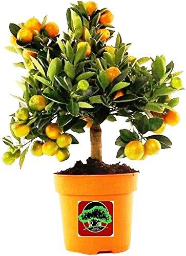 Vamsha Nature Care Live Dwarf Orange Plant Tangerine�(Santra) Origin Darjeeling