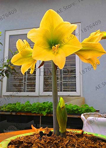 1 Double Amaryllis Flower Bulb - Go Garden Sale!1 Big Bulb Double Petals Amaryllis Bulbs Not Plant Perennial Garden Bonsai Flower Bulbs, Hippeastrum Flowers Lily Potted Pla: 12
