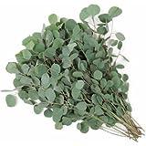 25 Seeds Eucalyptus Silver Dollar Annual