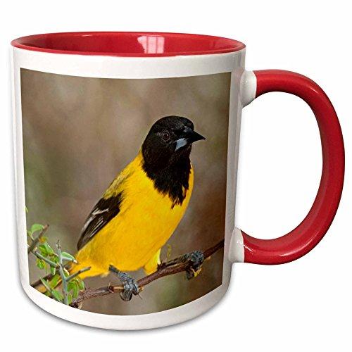 3dRose Danita Delimont - Birds - USA Texas Santa Clara Ranch, Audubons oriole bird - US44 BJY0001 - Jaynes Gallery - 15oz Two-Tone Red Mug (mug_146615_10) (Audubon Large Ranch)