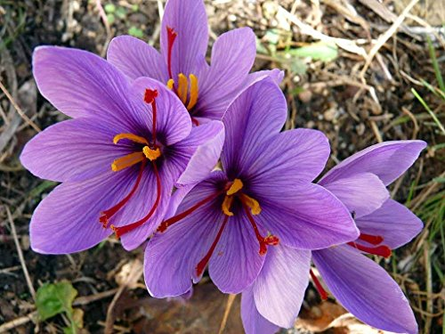 Saffron Bulbs - Saffron Crocus 10 Bulbs + Saffron Bulb Food - Crocus Sativus -Immediate Shipping