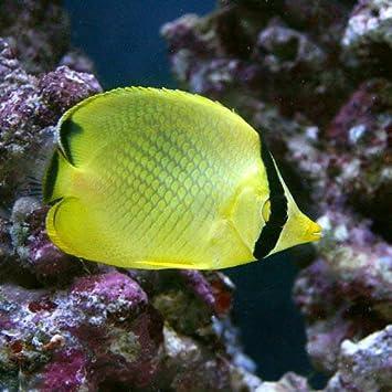 Amazon | (海水魚)アミチョウチ...