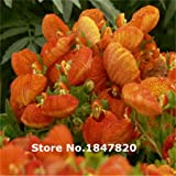 `100 pcs seeds Calcedaria herbeohybrida Flower seeds Calceolarias flowers seed