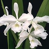 Laelia purpurata var. alba 'June Bride' AM/AOS x Laelia purpurata var. alba 'Elias' HCC/AOS