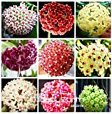 Hoya Plants Carnosa Hoya Carnosa Plants Hot Sale!Hoya Bonsai, Potted Seed Hoya carnosa Flower Seed Home Garden, 100 pcs/Package,#RBS9N0 (Mix Color)