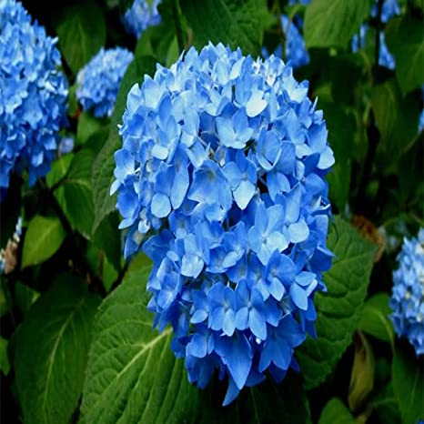 Endless Summer Original Hydrangea Shrub Plants