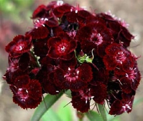 30+ SWEET WILLIAM DIANTHUS BARBATUS NIGRESCENS CHOCOLATE MAROON FLOWER SEEDS Dianthus Barbatus