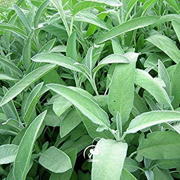 Marseed 100 Piezas Plantas Raras Cultivar un huerto casero Salvia ...
