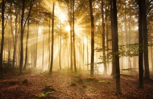 Fototapete Wald am Morgen KT391 Größe: 400x280cm Dunst Stimmung Baum