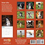 2020 Border Collies Wall Calendar by Bright Day, 16 Month 12 x 12 Inch, Cute Dogs Puppy Animals Colley 7