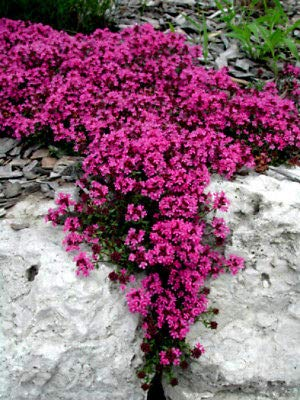 Red Thyme Creeping - Red Creeping Thyme Seeds, Groundcover Seeds, Heirloom Non-GMO Seeds, 100ct