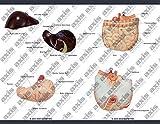 Axis Scientific Human Body Model | 17 Inch Mini