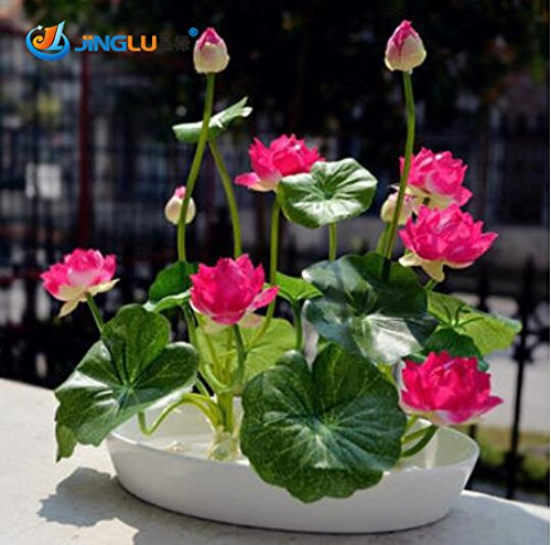 Amazoncom 5 Pcs Bag Lotus Seeds Flower Seeds Diy Potted