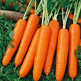 Carrot Scarlet Nantes Non GMO Heirloom Old Time Favorite Sweet Juicy Vegetable 100 Seeds by Sow No GMO®