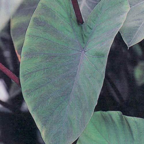 Heart of The Jungle Elephants Ear - Colocasia - 6