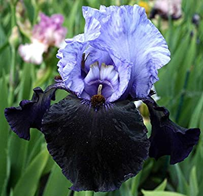 DANGEROUS MOOD GERMAN BEARDED REBLOOMING IRIS (1) Rhizome/Bulb/Root Ready for Planting Now