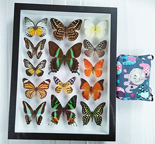 3D Luxury Rare Real 14 Mix Beautiful Butterfly in Frame Set Insect Insects Box Display Taxidermy Framed Collectible Entomology Home Decor Gift Handmade Bug Bugs Glass Wood Wooden Common Blue Bottle by Thaiworldtrade
