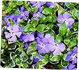 MONN 6 Hardy Perennial Live Plant Variegated Vinca Vine Ground Cover Bare Root - RK225