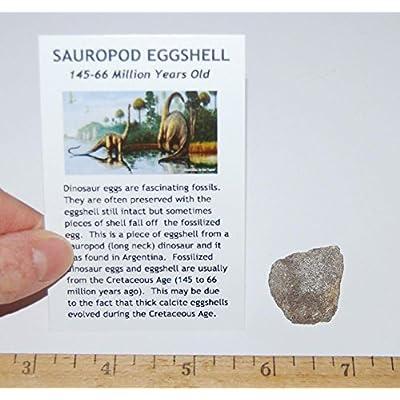 SAUROPOD Dinosaur Genuine Egg Shell Fossil #468: Toys & Games