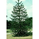 5 Monkey Puzzle Tree Seeds, Araucaria Araucana