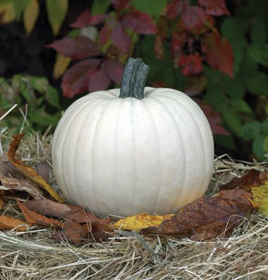 David's Garden Seeds Pumpkin Moonshine SL6690 (White) 25 Non-GMO, Hybrid -