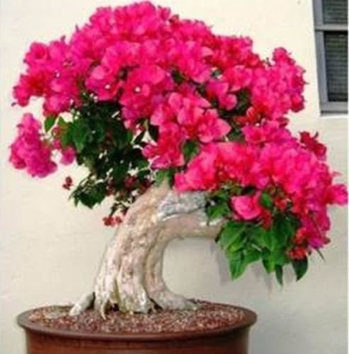 20 PCS red Bougainvillea Bonsai Seeds F92 F93, Garden Flower ()