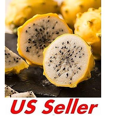 """Yellow Sweet Dragon Fruit VAR. """"PALORA"""", Pitaya Selenicereus 1-1.25 Foot (1) Pieces : Garden & Outdoor"""