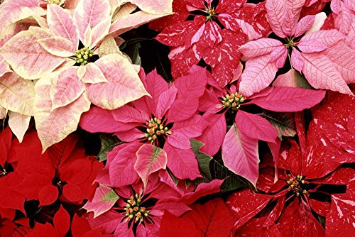 Art Print on Canvas Wall Decor Poster Blooming Poinsettias