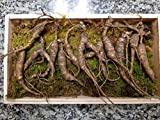 American Wild Ginseng Appalachian Mountain PANAX 100% Natural Organic Fresh Wild Ginseng Root Gift Pack (30~40 Years Old, 65 Gram) King of Saponin!