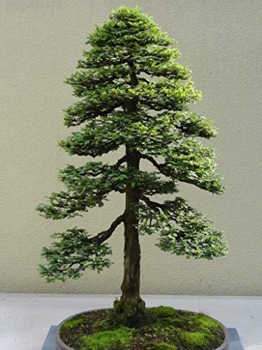 Dawn Redwood Bonsai - 15 Seeds Sequoia Sempervirens (Sequoia Coast Redwood Tree) Bonsai