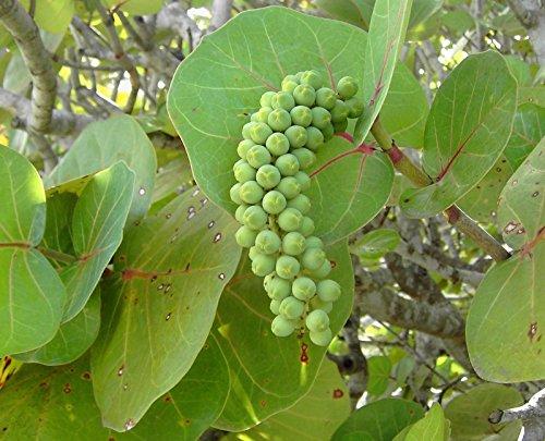 sea grape tree - 6