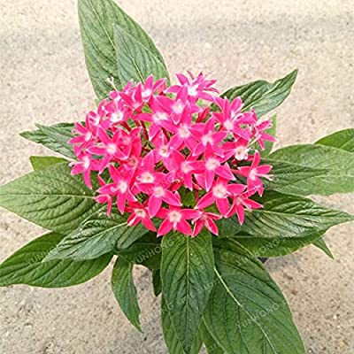 50 PCS Pentas Lanceolata Flower Bonsai Starry Flowers Bonsai Purify Indoor Outdoor Bonsai Air Mixing Colors Plant - (Color: 3): Garden & Outdoor