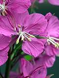 300 FIREWEED / ROSEBAY (Great Willowherb) Epilobium Angustifolium Flower SeedsComb S/H