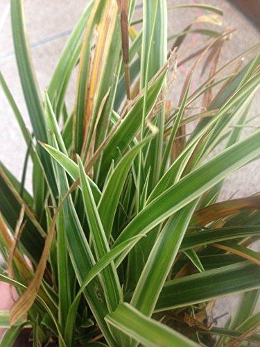 Carex Morrowii Ice - 3