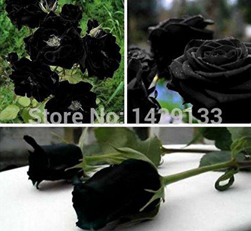 Mr.seeds China Rare Black Rose Flower seeds 200 pieces of high-quality, easy-to-grow family garden seeds La rosa negra - Rosa Mall