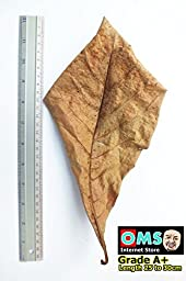 SunGrow Catappa Ketapang Indian Almond Leaf for Fish Tank 10 leaves (A+)