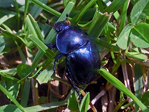 Price comparison product image Home Comforts Peel-n-Stick Poster of Blue Scarabeus Beetle Hovnivál Nature Poster 24x16 Adhesive Sticker Poster Print
