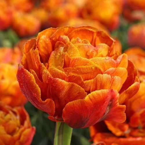 10 BROWNIE DOUBLE EARLY TULIP BULBS - Size 12+cm