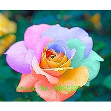 100//200Pcs Colorful Rainbow Rose Flower Seeds Home Garden Plants Color ME